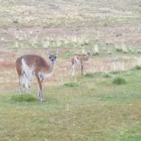 Guanacos in Chile by S. Reichard