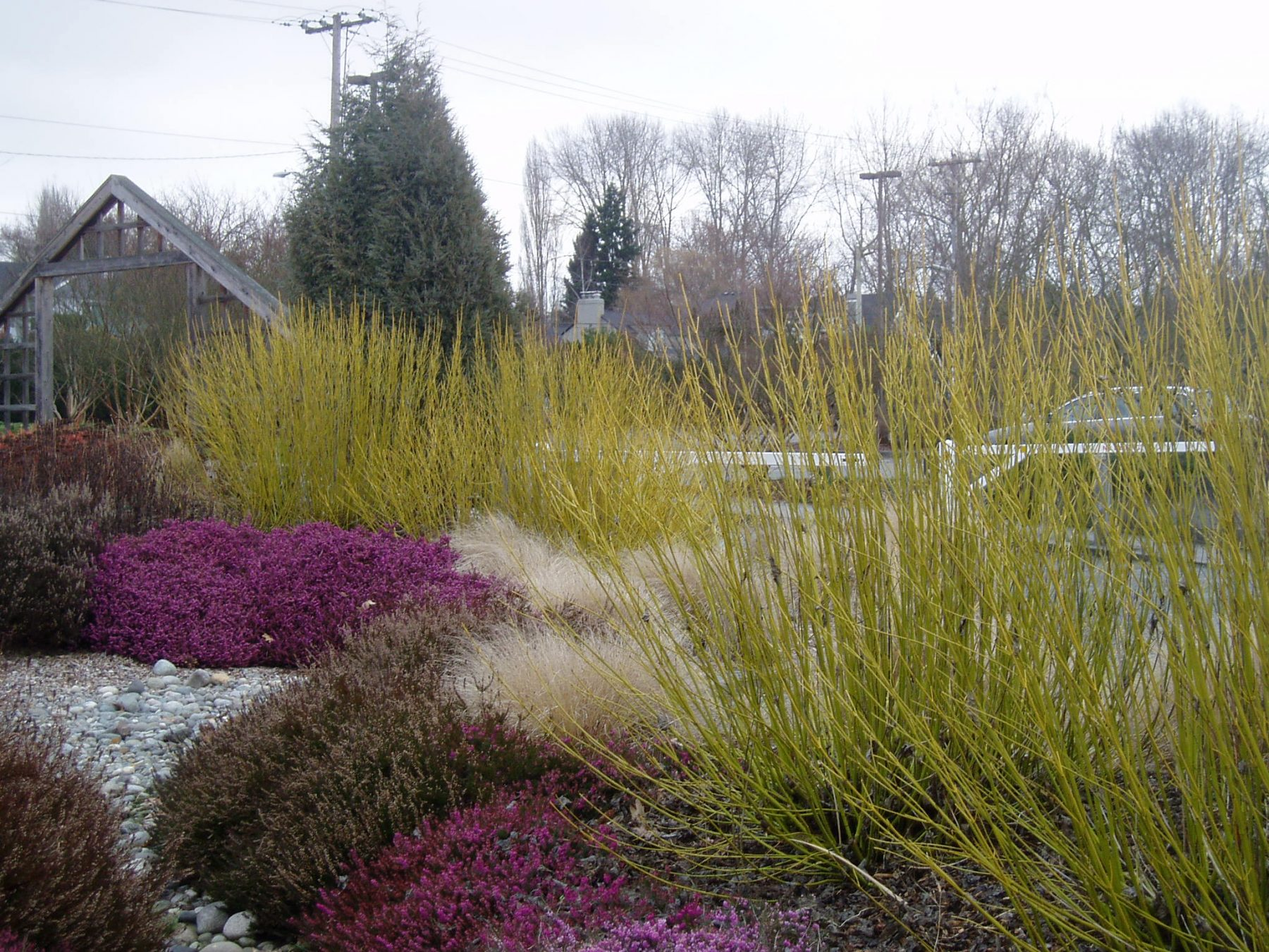 January 2011 plant profile cornus sericea flaviramea for Low maintenance winter plants
