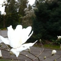 Magnolia by L. Thornberg
