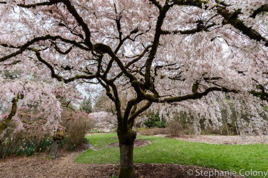 Flowering Cherries Need Help To Stay Healthy