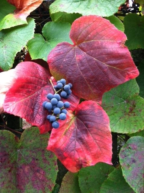 October 2011 Plant Profile Vitis Coignetiae