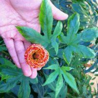 December 2012 Plant Profile Abutilon Tiger Eye