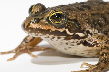 Oregon spotted frog, Rana pretiosa