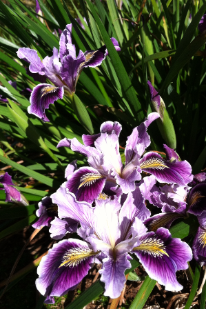 Iris 'Ami Royale'