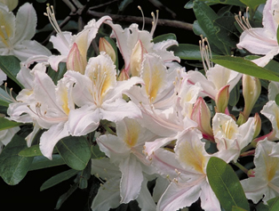 rhododendron occidentalis