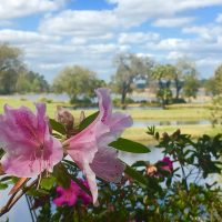 Azaleas at Middleton Place