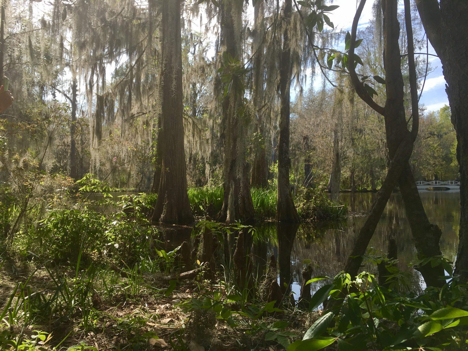 Bald Cypress and Spanish moss at Magnolia Plantation and Gardens outside of Charleston, South Carolina
