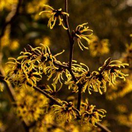 Hamamelis x intermedia 'Primavera' flowers