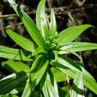Fritillaria camschatcensis (black lily) buds