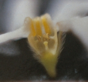 A section of the Hackelia venusta flower cut open, showing reproductive parts down inside the lower part of the corolla