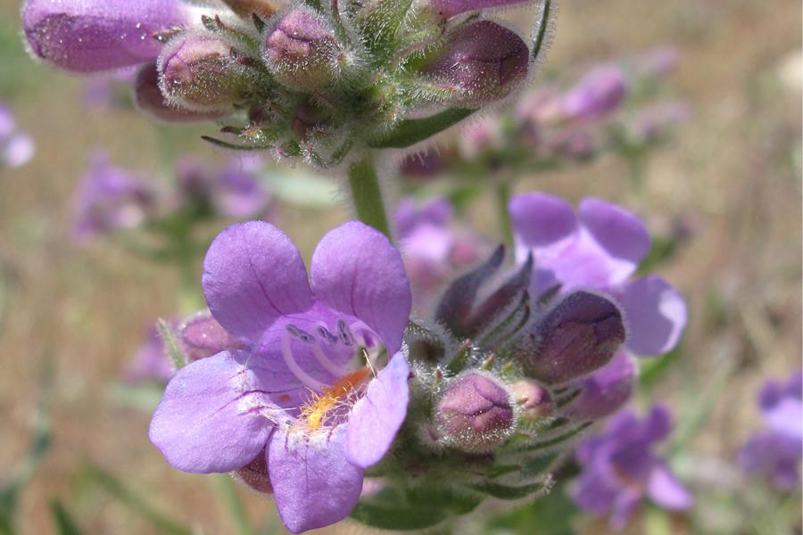 Penstemon eriantherus var. whitedii