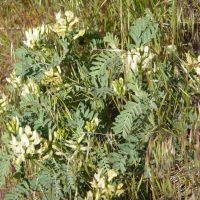 Astragalus sinuatus (Whited's milk-vetch) - Endangered