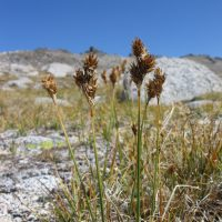 Carex proposita (Smoky Mountain sedge) - Threatened