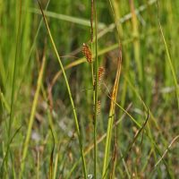 Carex rostrata (beaked sedge) - Sensitive