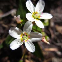 Claytonia multiscapa ssp. pacifica (Pacific lance-leaved springbeauty) - Threatened