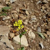 Draba aurea (golden draba) - Sensitive