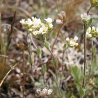 Draba cana (lance-leaved draba) - Sensitive