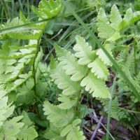 Dryopteris cristata (crested shield-fern) - Sensitive