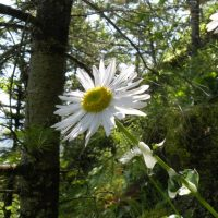 Erigeron howellii (Howell's daisy) - Threatened