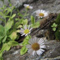 Erigeron oreganus (gorge daisy) - Threatened