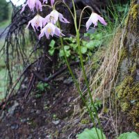 Erythronium quinaultense (Quinault fawn-lily) - Threatened