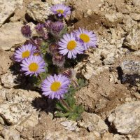 Erigeron salishii (Salish fleabane) - Sensitive