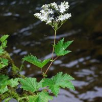 Filipendula occidentalis (queen of the forest) - Threatened