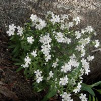 Hackelia venusta (showy stickseed) - Endangered