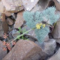Lomatium tuberosum (Hoover's desert-parsley)