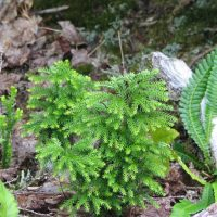 Lycopodium dendroideum (treelike clubmoss) - Sensitive