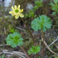 Ranunculus cooleyae (Cooley's buttercup) - Sensitive