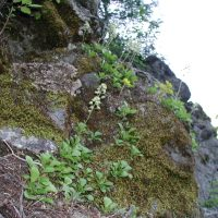 Saxifragopsis fragarioides (strawberry saxifrage) - Threatened