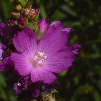 Sidalcea oregana var. calva (Wenatchee Mountain checker-mallow) - Endangered