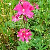 Sidalcea virgata (rose checker-mallow) - Endangered