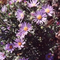 Symphyotrichum jessicae (Jessica's aster) - Endangered