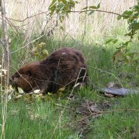 Beaver in Yesler Swamp