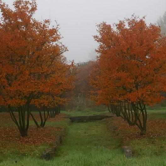 trees with orange foliage and heavy fog
