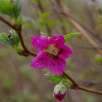 Salmonberry flower