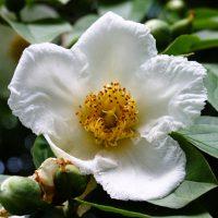Stewartia flower