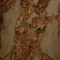Stewartia bark