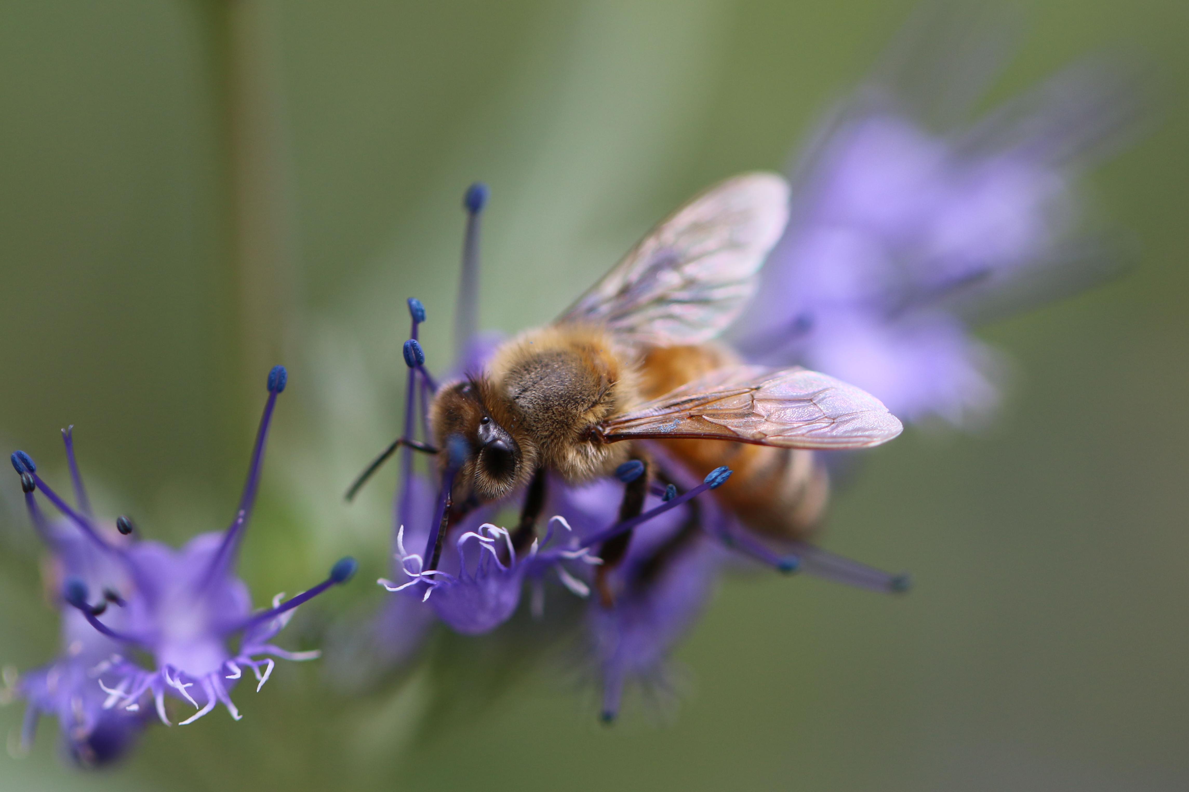 Honey bee on the flower of Caryopteris