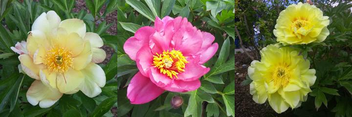 Fragrance Garden peonies