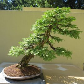 Slant style western red cedar bonsai in a round pot