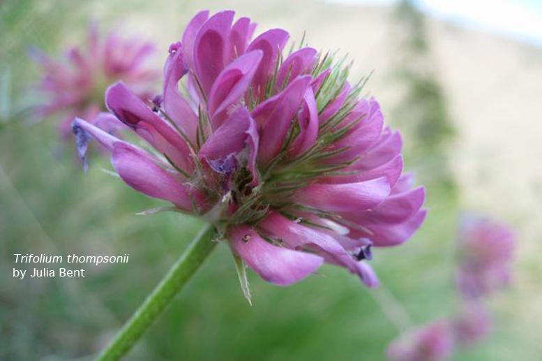 Trifolium thompsonii (image by Julia Bent)