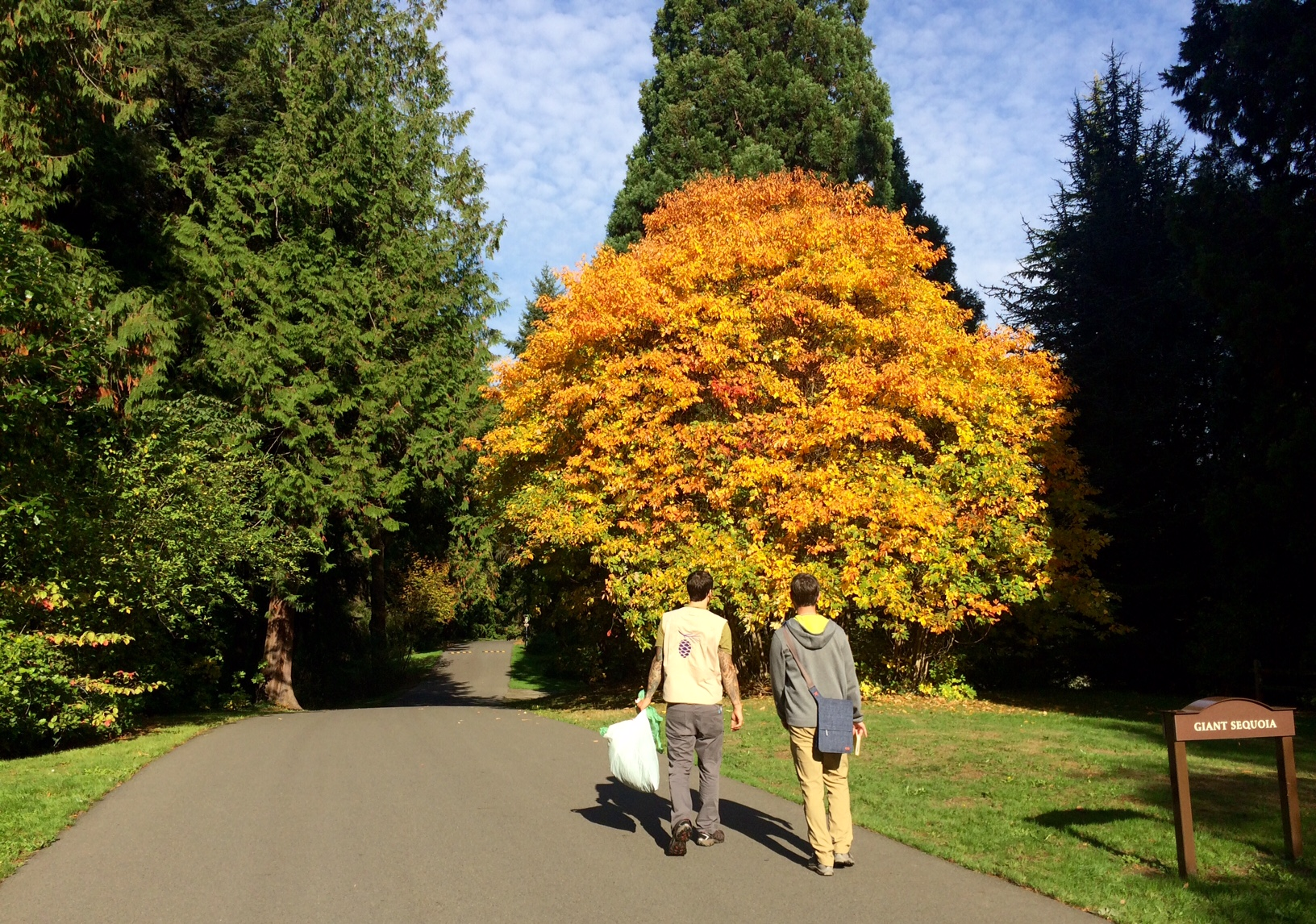 Volunteers collecting Sassafras with fall color in the Washington Park Arboretum