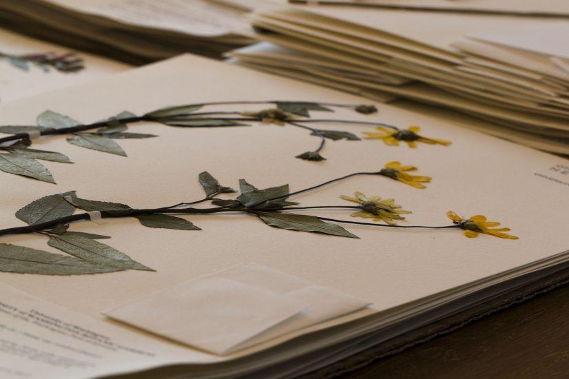 Herbarium specimen of Heliopsis