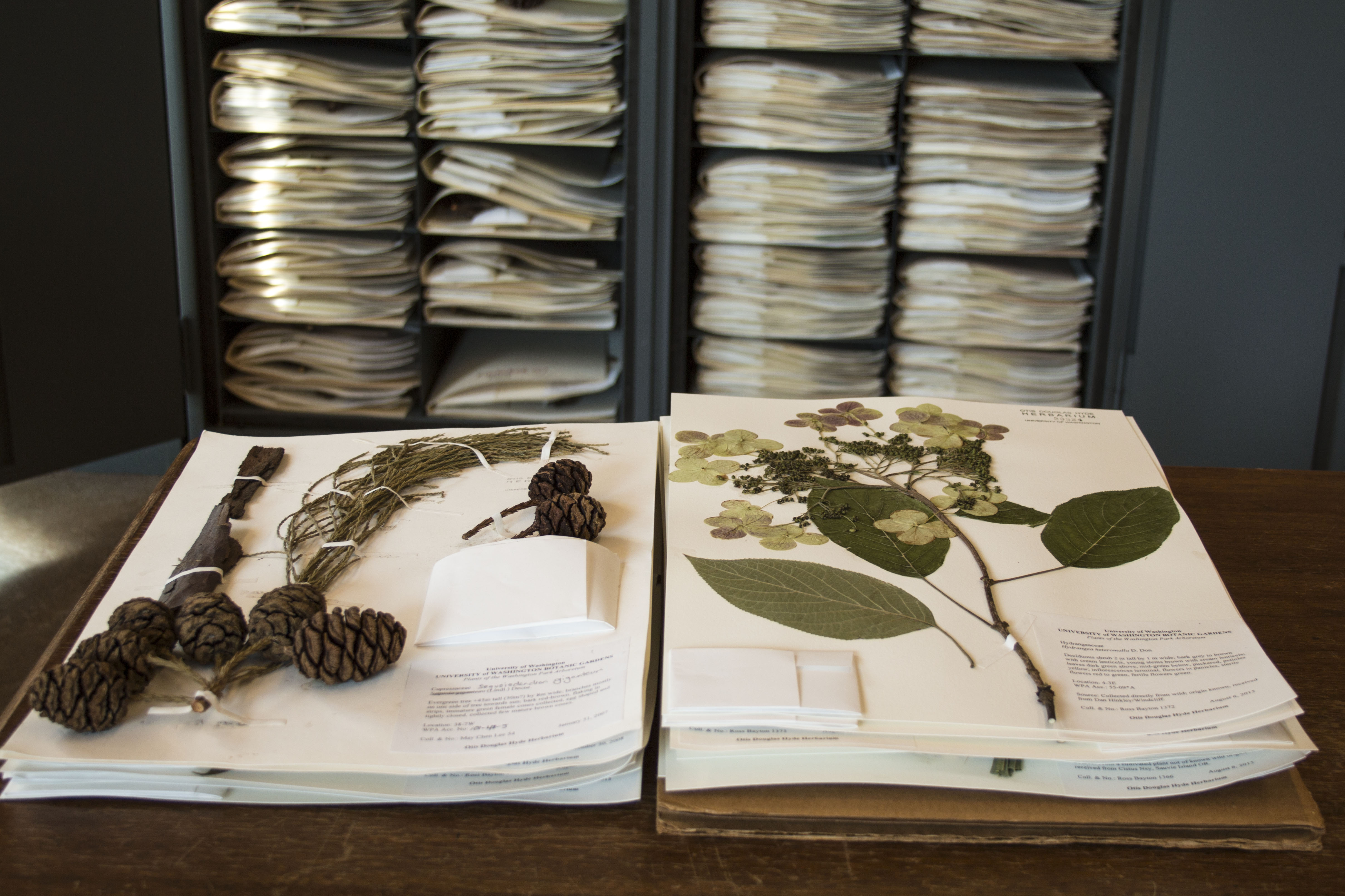 Herbarium cabinets with a Sequoiadendron and Hydrangea on display