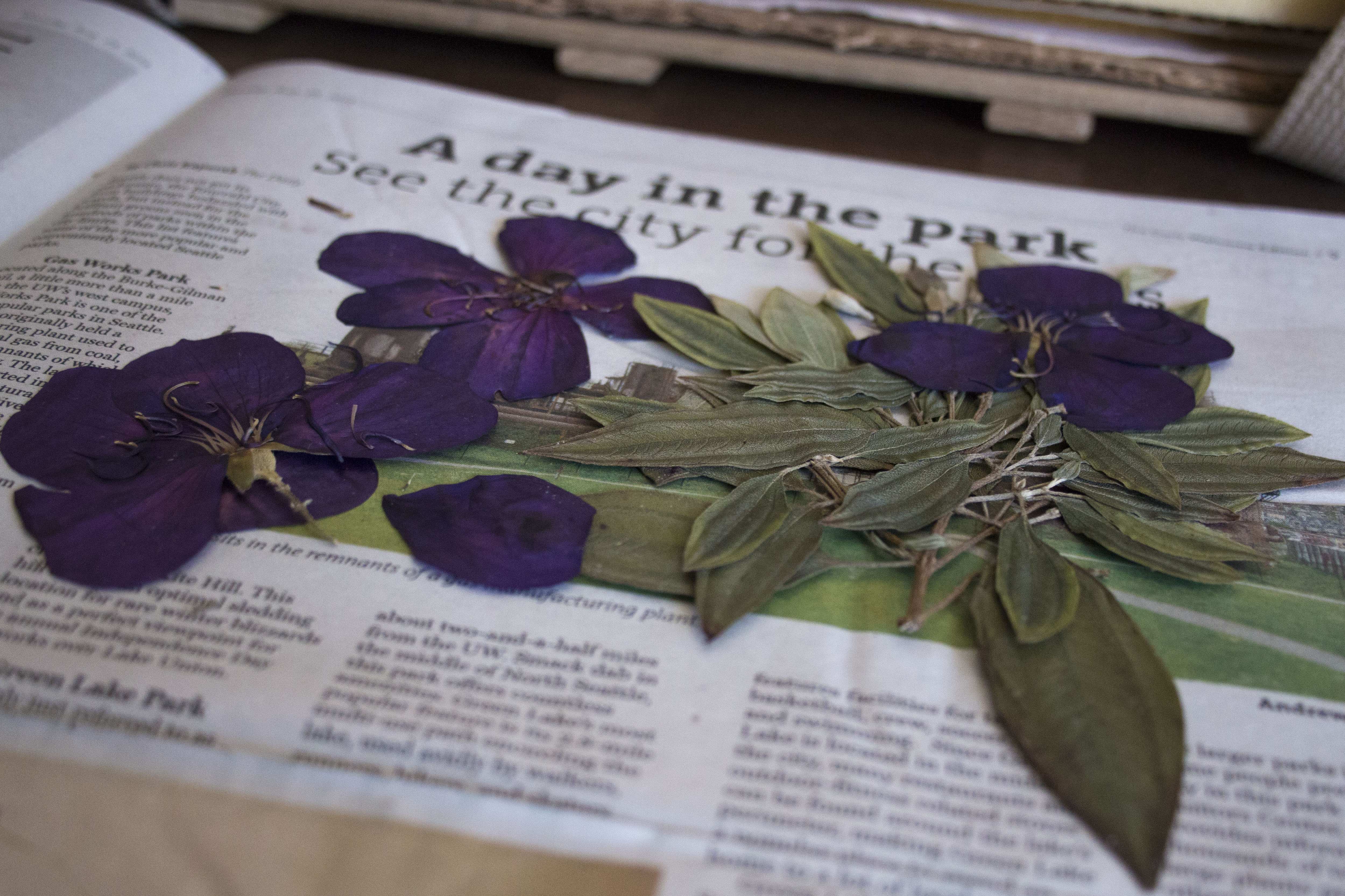 A herbarium specimen (Tibouchina) after being dried and pressed