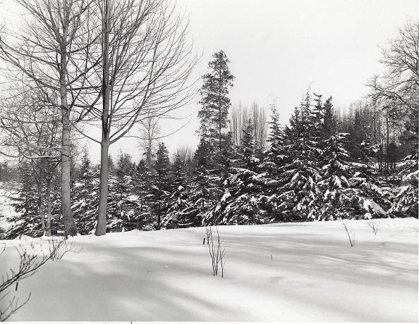 46b. Hedge of Western Hemlock, 30 ft., A. macrophyllym, 1-15-1950