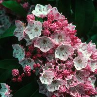 kalmia photo